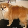 Pomeranian Before
