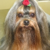 Yorkshire Terrier After