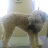 Wheaten Terrier Before