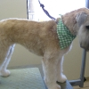 Wheaten Terrier After