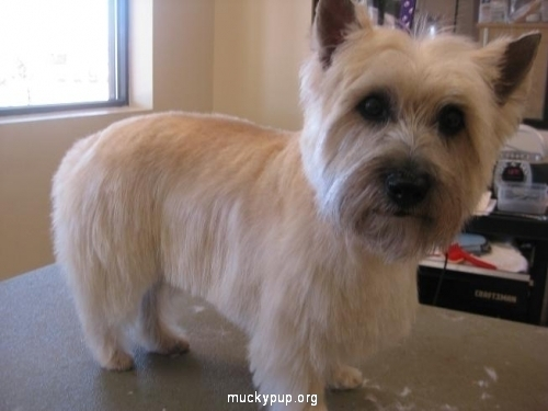 Cairn Terrier After