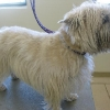 Cairn Terrier Before