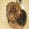Yorkshire Terrier Before